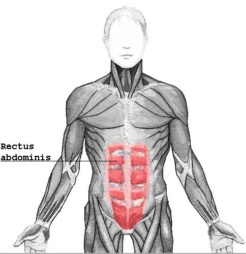 Rectus_abdominis.jpg