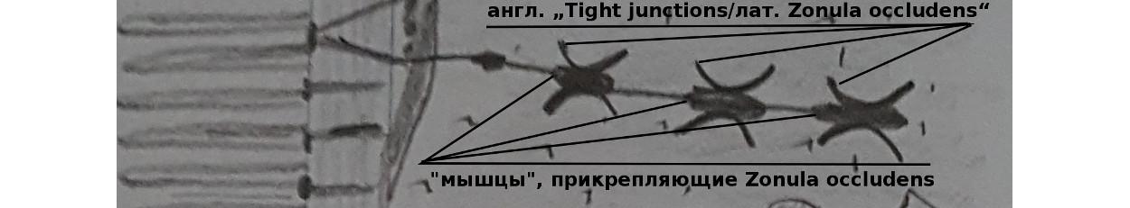 tonkaja_kishka.jpg